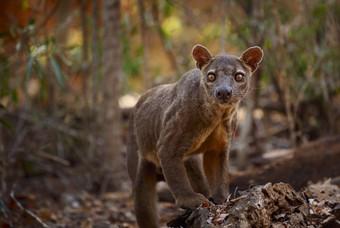 De Fossa in Madagaskar