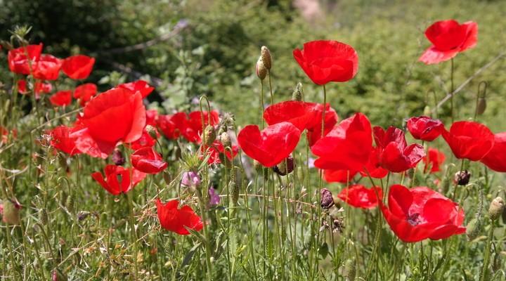 De klaproos die prachtig bloeit in de lente in Portugal