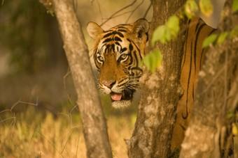 Tijgerreis India nieuw bij PANGEA Travel