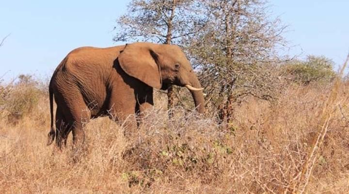 Olifant in Zuid Afrika