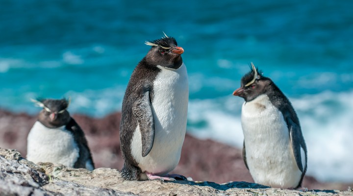Rockhopper pinguïns, Argentinië