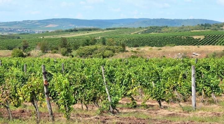 Wijngaard in wijnbouwgebied Tokaj, Hongarije