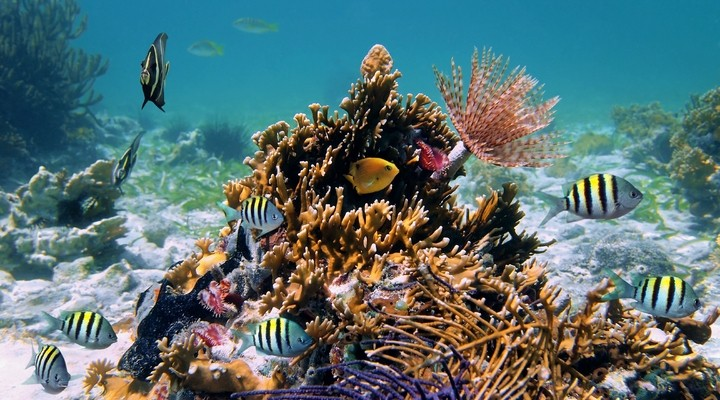 Kleurrijk koraal, Cuba