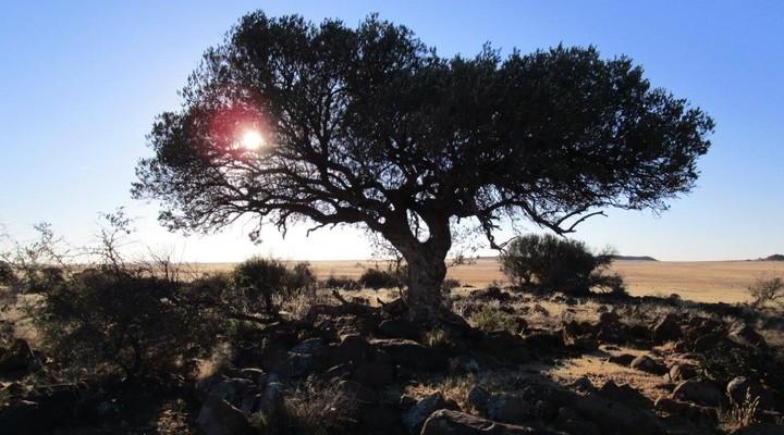 Een boom in '' de oude Kraal''