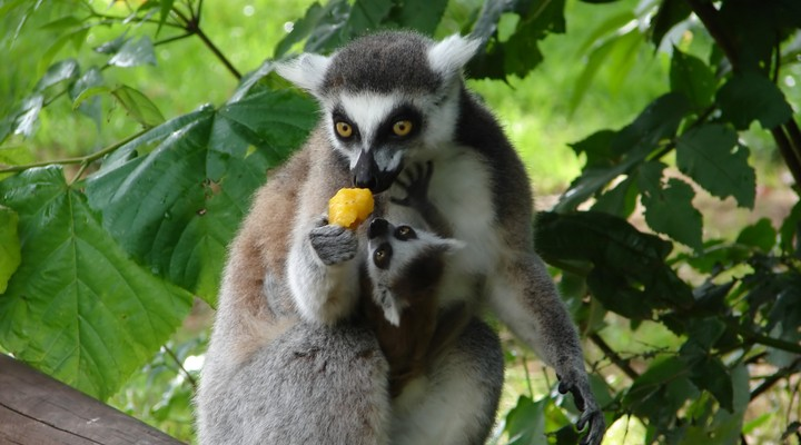 In Madagaskar vind je deze Lemuren