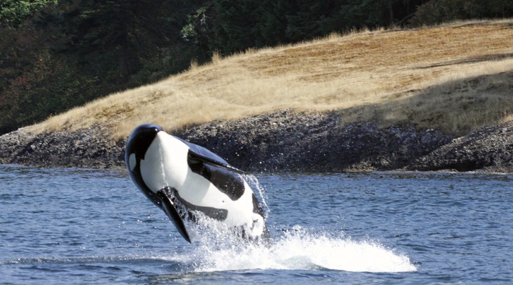 Orka bij Vancouver Island