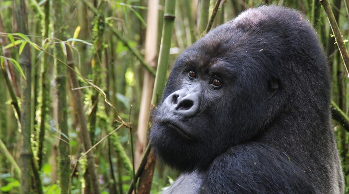 De berggorilla's in Uganda