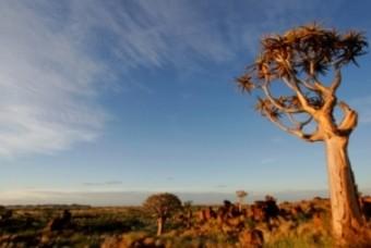 Moringoboom, uniek voor Namibië