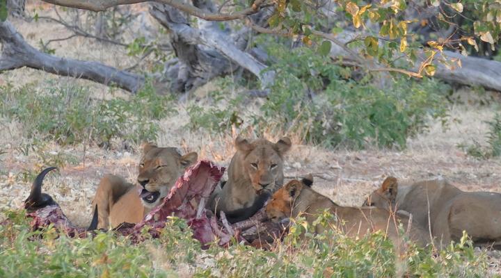 Leeuwen genieten van een buffel