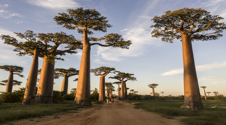 Boabab bomen op Madagaskar