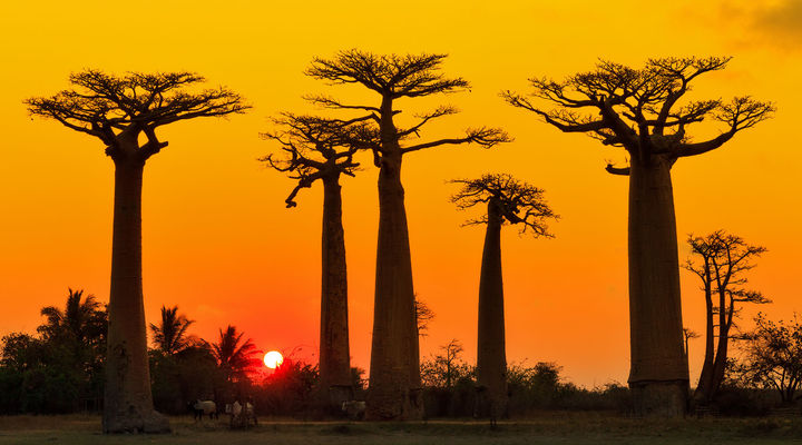Baobab bomen in Madagaskar