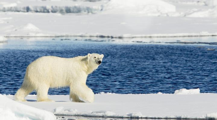 IJsberen spotten tijdens een expeditiecruise