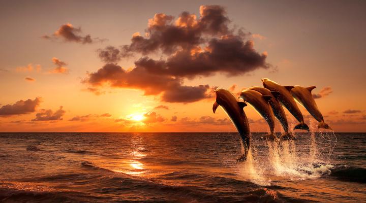 Springende dolfijnen tijdens zonsondergang, Tenerife