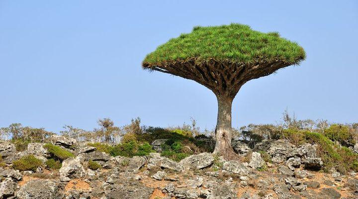 Drakenbloemboom