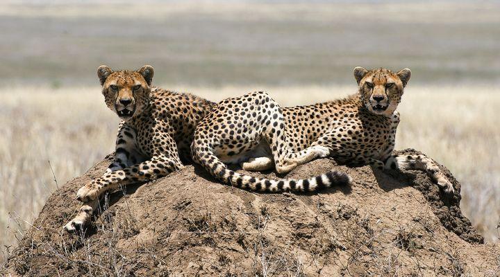 Cheeta's in het Krugerpark