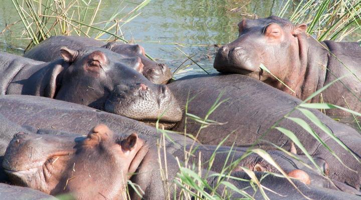 Nijlpaarden in Afrika
