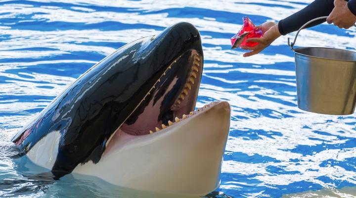 Orka-attracties worden geschrapt bij Thomas Cook