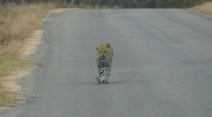 Luipaard op de weg