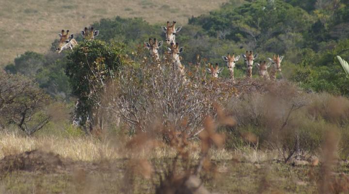 Giraffen spotten