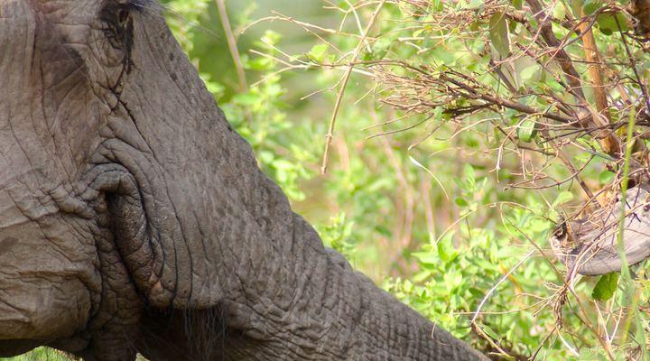 Olifant van dichtbij