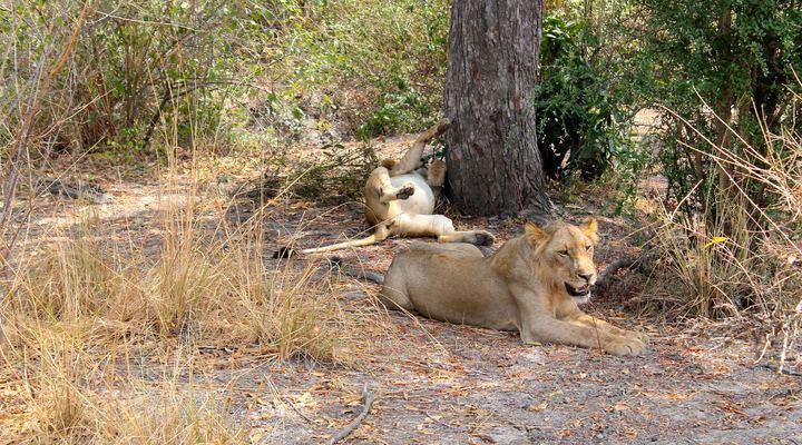 Rustende leeuwinnen