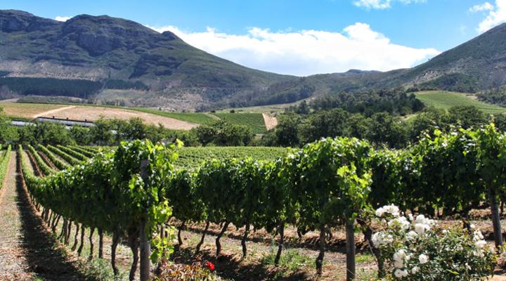 De wijngaard van Groot Constantia